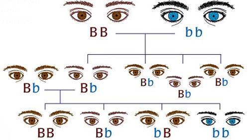 Mắt biếc trong Y học là gì?